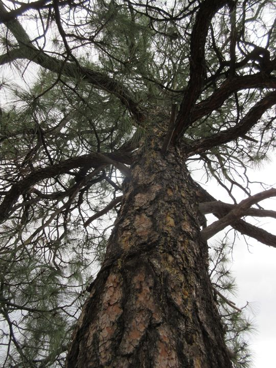 Looking Up A Pine Tree - My Evil Twin