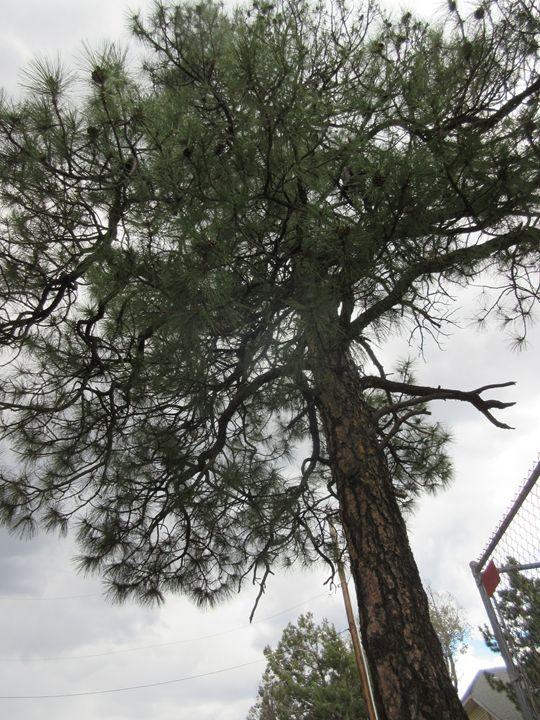 Pine Tree - My Evil Twin