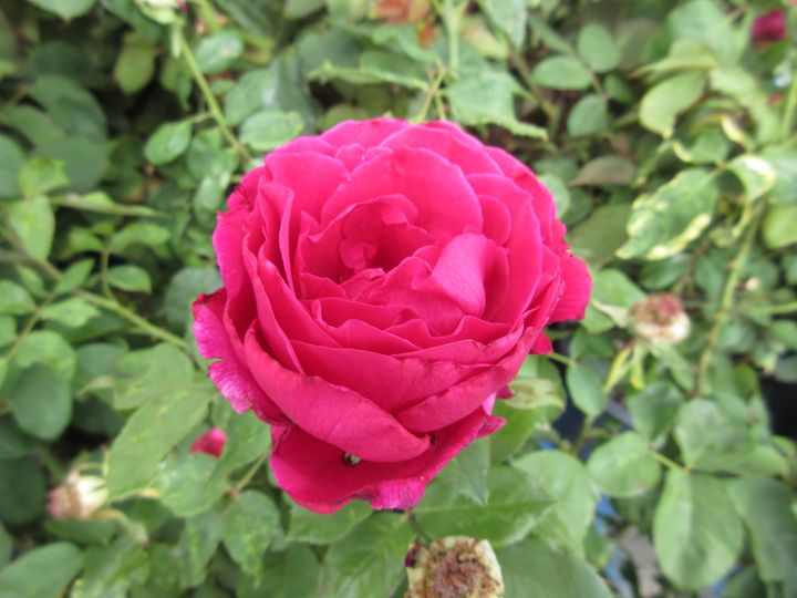 Pink Rose - My Evil Twin