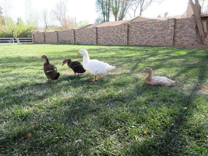Quackers - My Evil Twin