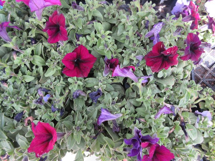 Red Petunias - My Evil Twin