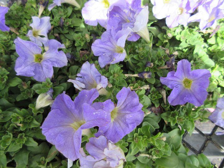 Lavender Petunias - My Evil Twin