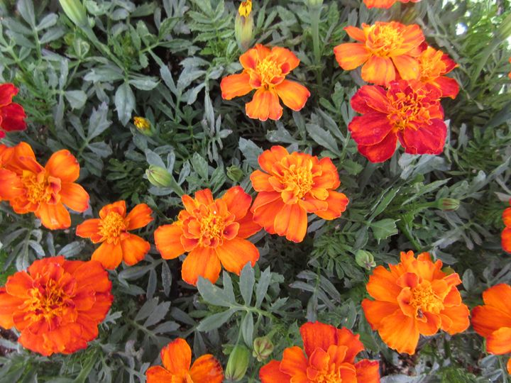 Orange Marigolds - My Evil Twin