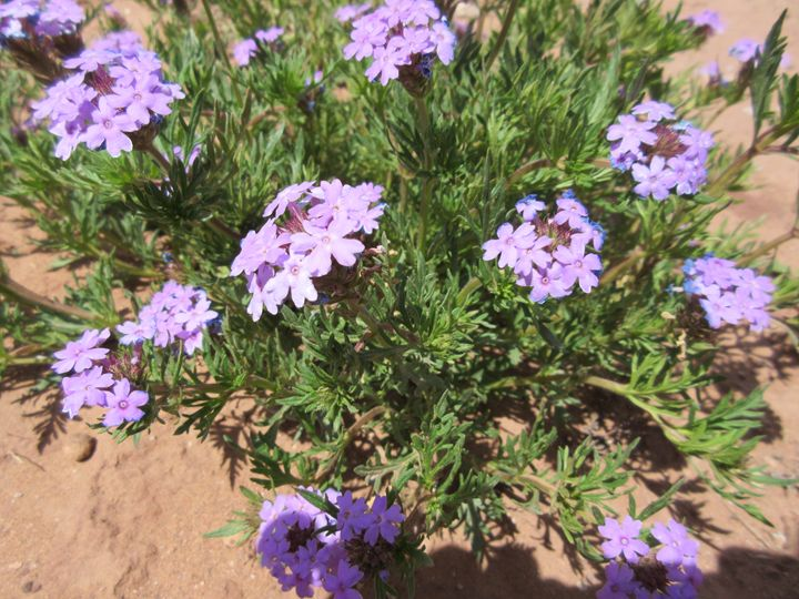 Purple Desert Flowers - My Evil Twin