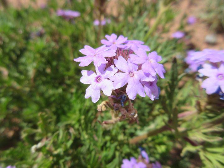 Purple Desert Flower - My Evil Twin