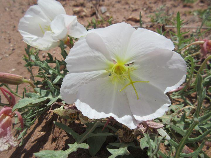 White Desert Flower - My Evil Twin