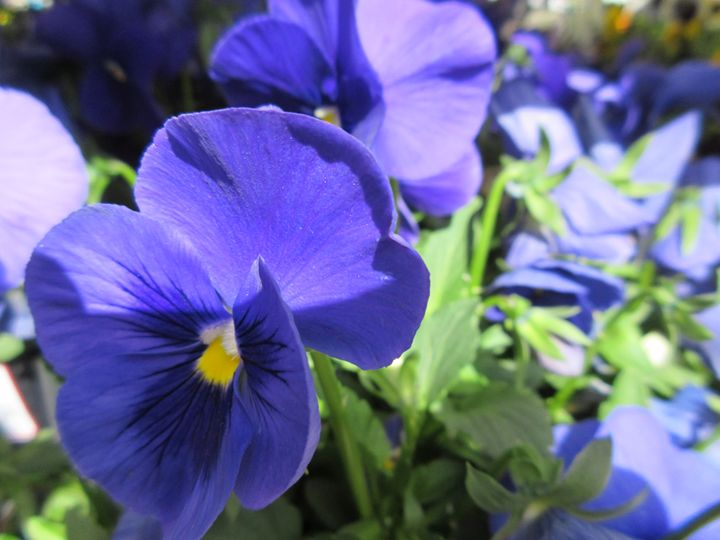 Blue Pansies - My Evil Twin