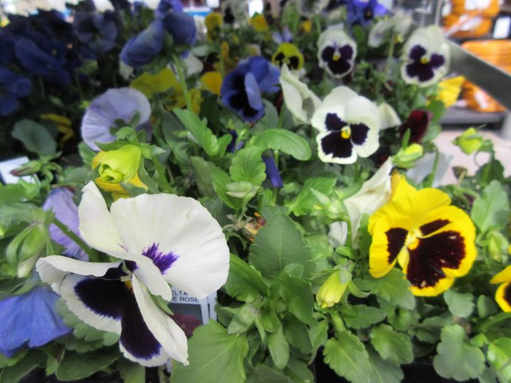 Multi-colored Pansies - My Evil Twin