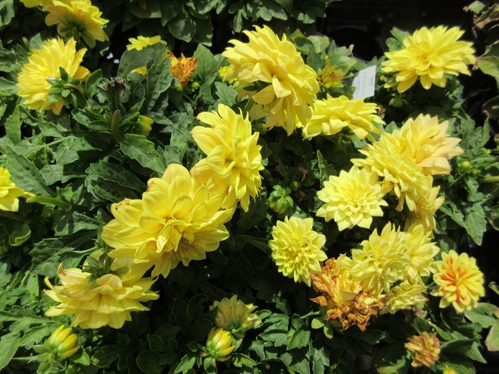 Yellow Marigolds - My Evil Twin