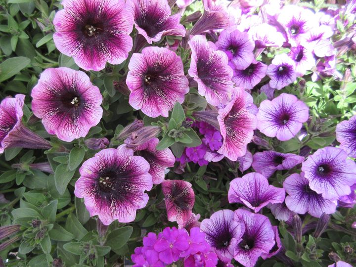 Purple Petunias - My Evil Twin