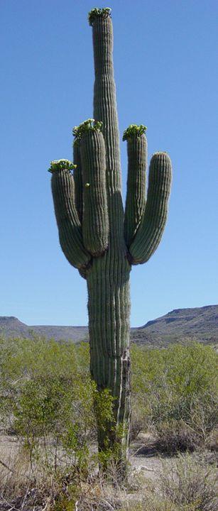 Sagauro Cactus - My Evil Twin