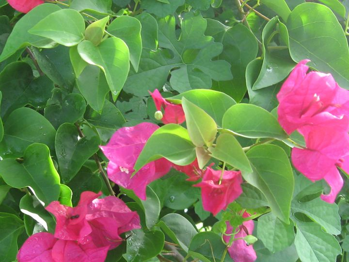 Bougainvillea - My Evil Twin