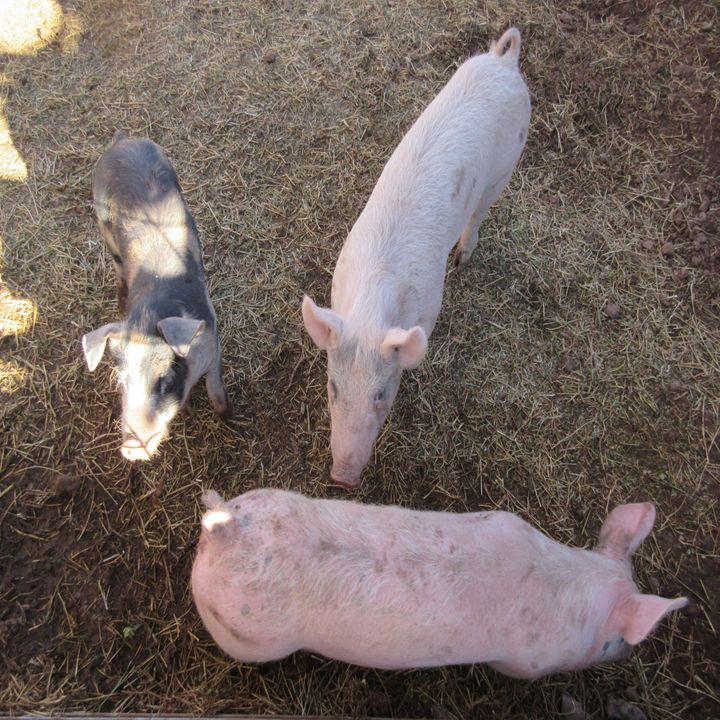 Three Pigs - My Evil Twin
