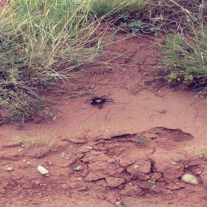 Desert Tarantula - My Evil Twin
