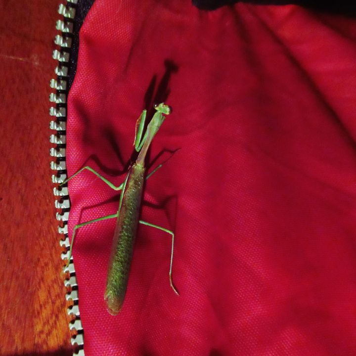 A Praying Mantis #2 - My Evil Twin