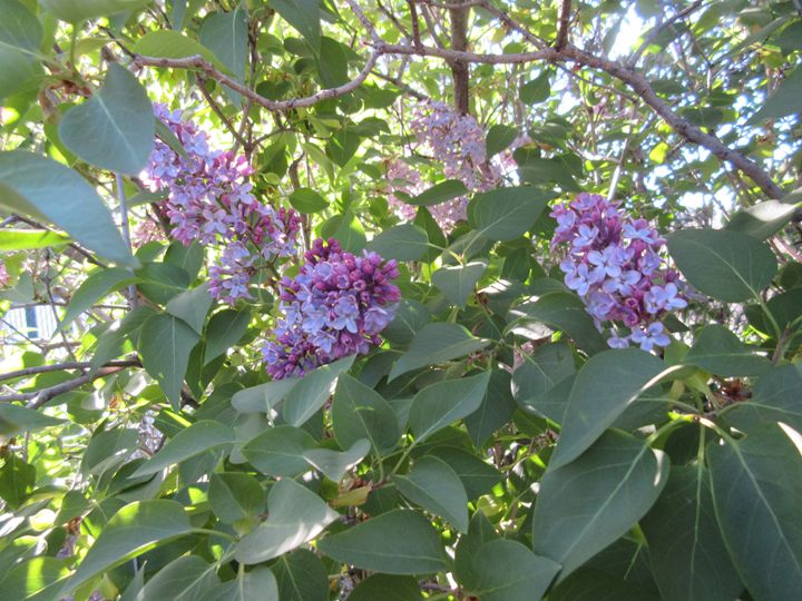 Purple Blooms - My Evil Twin