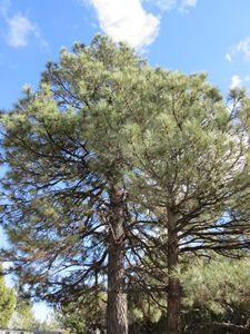 Cedar Trees - My Evil Twin
