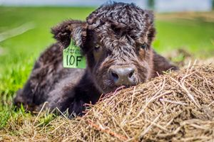 The Baby Scottish Highland