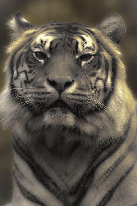Sumatran Tiger 1 - DAVID HUNTER PHOTOGRAPHY