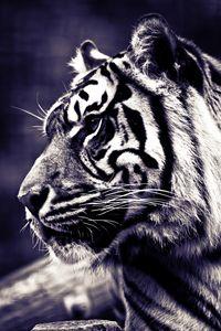 Panthera tigris sumatrae 2