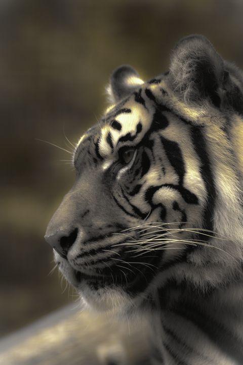 Sumatran Tiger2 - DAVID HUNTER PHOTOGRAPHY