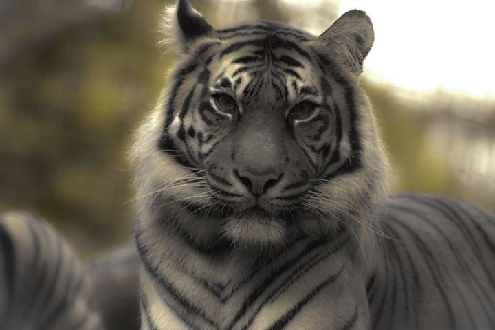 Sumatran Tiger 4 - DAVID HUNTER PHOTOGRAPHY