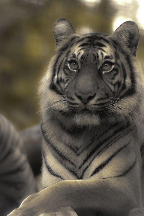 Sumatran Tiger 3 - DAVID HUNTER PHOTOGRAPHY