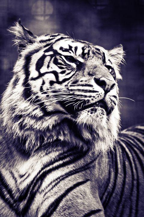 Panthera tigris sumatrae - DAVID HUNTER PHOTOGRAPHY