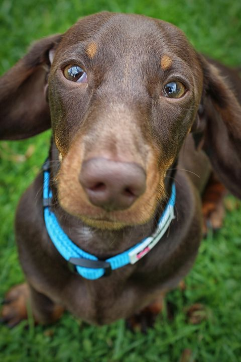 Lil brown sausage dog - Jaydee's