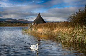 Swan at Llangorse