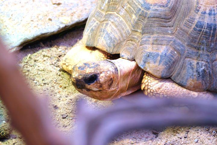 Radiated tortoise - Mats Vederhus