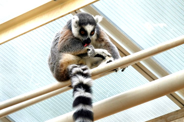 Ring-tailed lemur, cleaning - Mats Vederhus