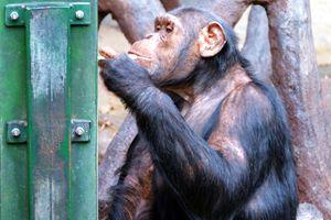 Chimp - Mats Vederhus