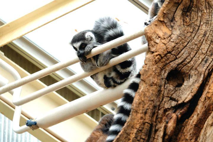 Ring-tailed lemur - Mats Vederhus