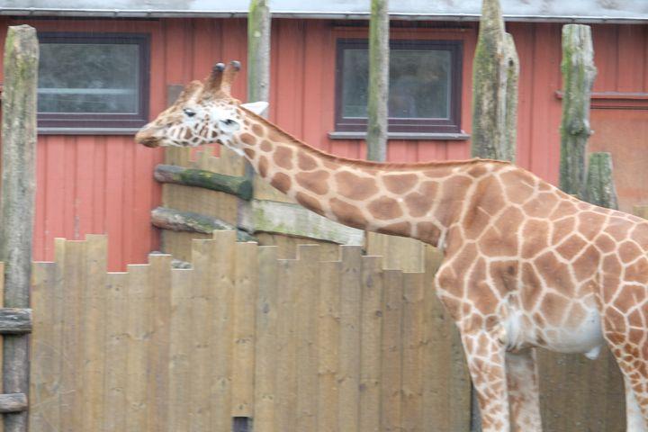 Giraffe - Mats Vederhus