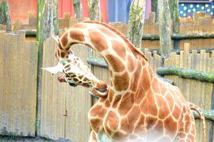 Cleaning giraffe - Mats Vederhus