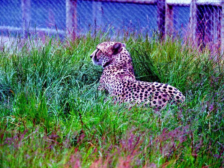Cheetah - Mats Vederhus