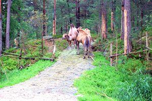 Camels - Mats Vederhus