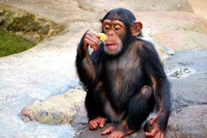 Chimp looking at food - Mats Vederhus