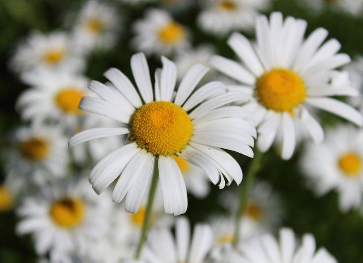 daisies - Michele Vitti