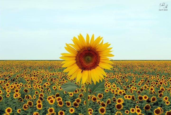 Hymn to Nature. Sunflowers. - Michele Vitti