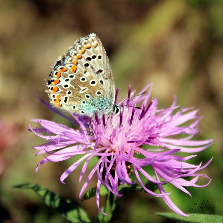 Butterfly Adonis - Michele Vitti