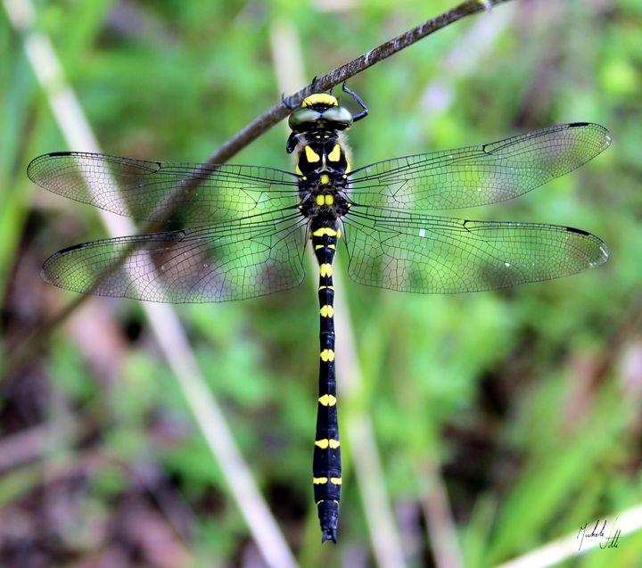Dragonfly - Michele Vitti