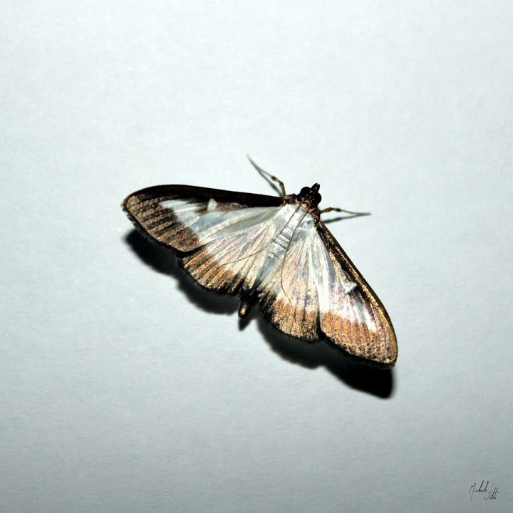 Golden and silver butterfly - Michele Vitti