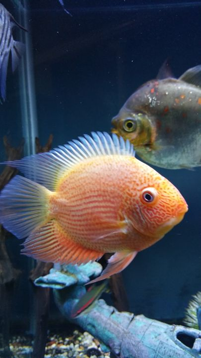 Red Spotted Severum - Coral's Creations