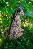 Original sculpture of Margay cat