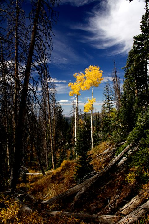 Aspens in Solitude - Kelly Guymon Photography