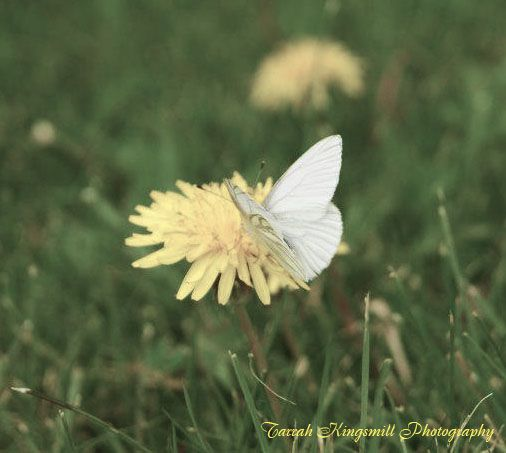 White Butterfly - Tarrah Kingsmill Photography