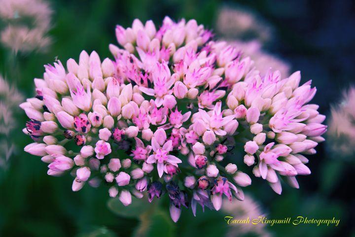 Pink Passion - Tarrah Kingsmill Photography