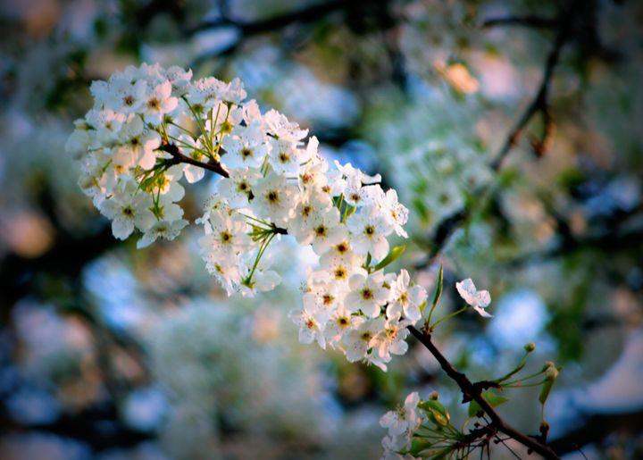 Dogwood Flowers - 5 Angels Photography